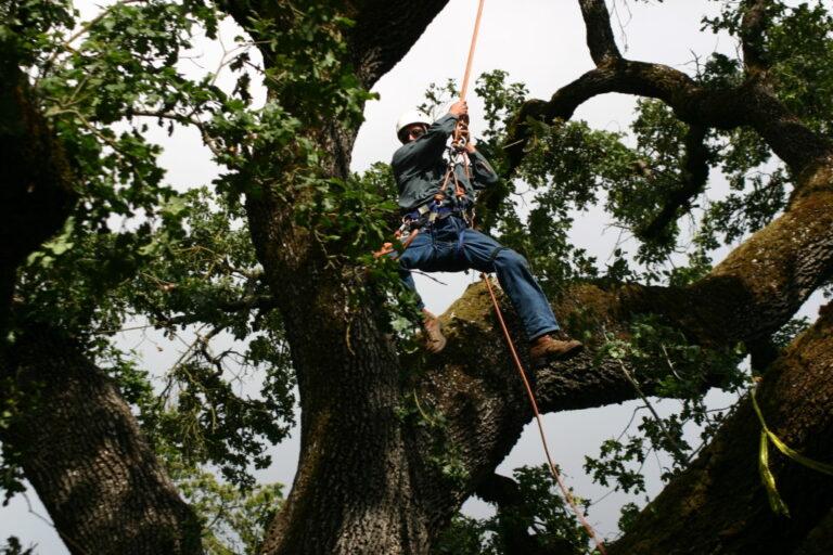Acorn Arboricultural arborist drilling to determine decay of tree.