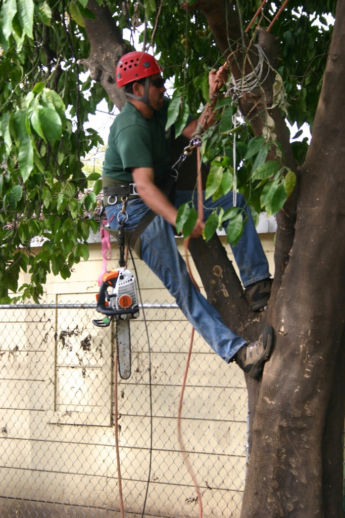 Acorn employee preparing to remove a limb
