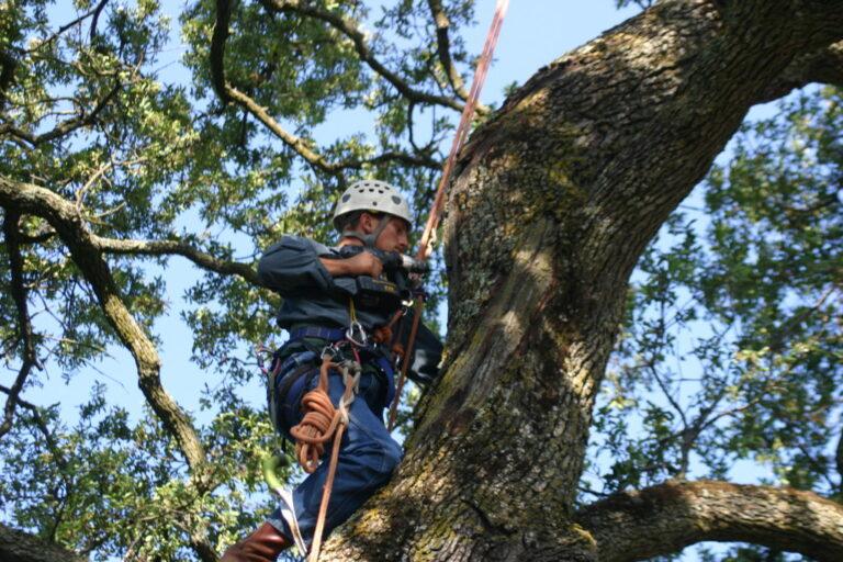 Photo our Acorn Arboricultural arborist drilling to determine decay of tree.
