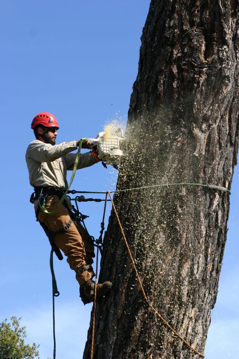 Arborist Tree Cutting